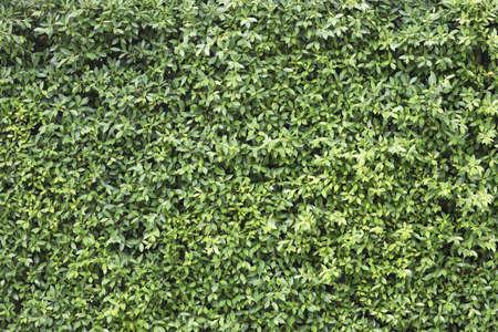Banyan Tree lush leaves texture