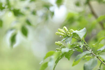 Orange Jasmine green lush leaves with water drop after rain