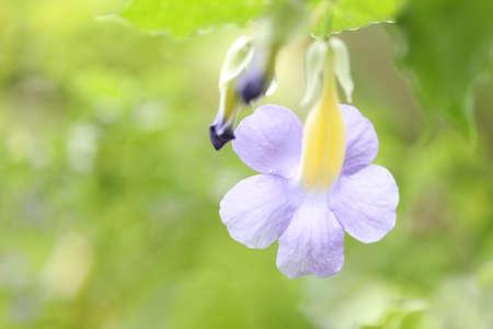 Bush clock vine flower close up