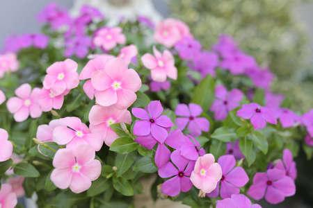 Cayenne jasmine pink delicate flower