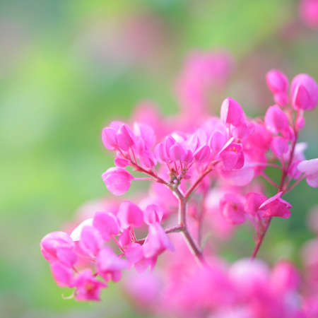 Polygonaceae pink flower close up in green field
