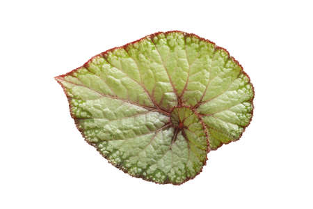 Begonia leaf with isolated white background Banque d'images