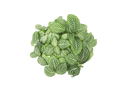 Fittonia albivenis plant isolated top view Banque d'images
