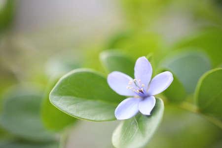 Purple Lignum Vitae flower close up