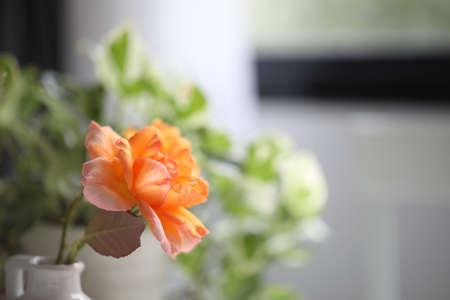 Orange rose close up in white ceramic vase