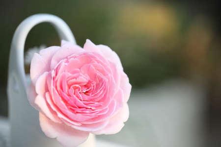 Pink rose in ceramic basket Banque d'images