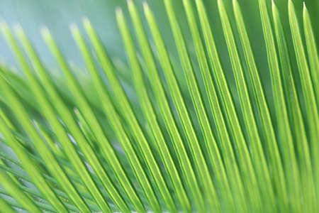 Fresh green Cycad leaves closeup
