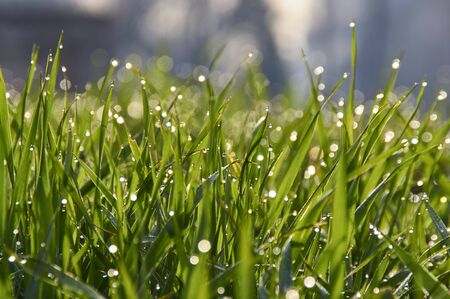 dewdrops: dewdrops on the grass