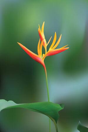 birds of paradise: Bird of Paradise Flower (Vector)