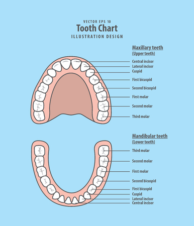 Tooth chart infographic illustration vector on blue background. Dental concept. Illustration