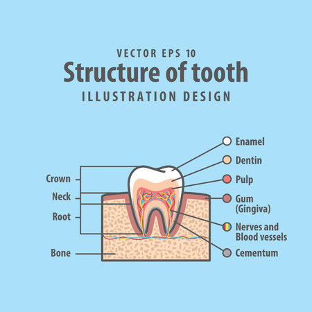 Cross-section structure inside tooth diagram and chart illustration vector on blue background.