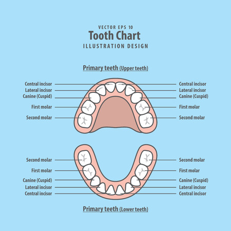 Tooth Chart Primary Teeth Illustration Vector On Blue Background