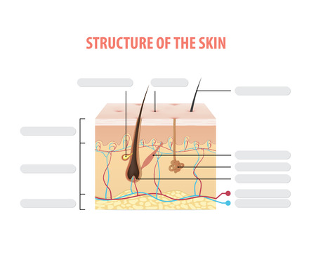 Structure of the skin info blank illustration vector on white background. Beauty concept. Illustration