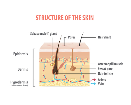 Structure of the skin info graphics illustration vector on white background. Beauty concept. Illustration