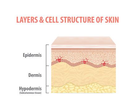 Capas y estructura celular del vector de ilustración de piel sobre fondo blanco. Concepto médico.