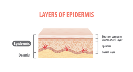 Layers of epidermis illustration vector on white background. Medical concept.