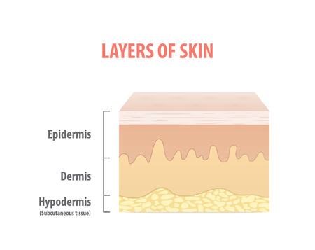 Layers of skin diagram illustration vector on white background. Medical concept. Иллюстрация