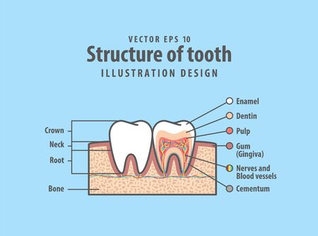 Cross-section structure compare inside and outside tooth diagram and chart illustration vector on blue background. Dental care concept.