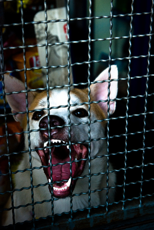 Fierce dog trying to break the cage
