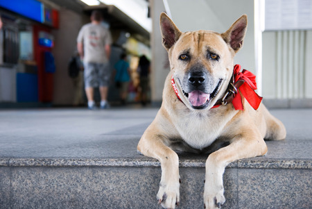 Stray dog with read scarf at siamsquare. the dog are lay down at stairstep of bts siam square.