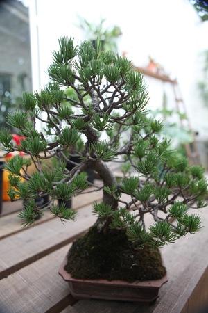 bonzai tree in the garden