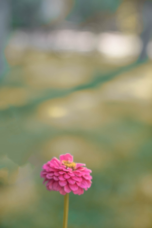 A beautiful carnation standing in the garden