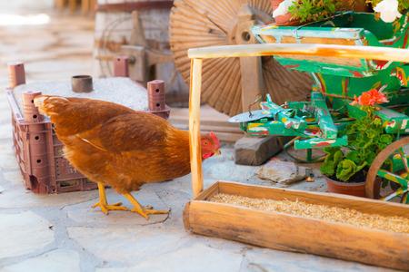 Chicken eating in the garden