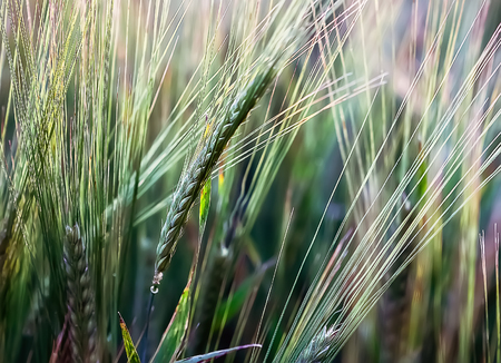 beardless: Fragments of growing in a field ears of barley close-up. Stock Photo