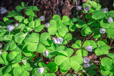 oxalis: Oxalis flowers during flowering at dawn in the woods.
