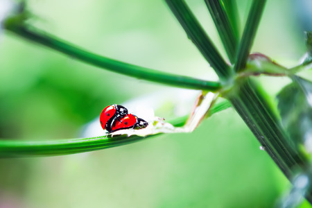 A pair of ladybugs making love on the stem of  plant on a sunny day among the green. Selective focus.