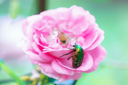 Chafer golden breakfasting on the flower of rose closeup. Selective focus.