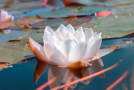 nenuphar: Flower of white lily or lotus with dew drops in a pond with emerald water. Selective focus. Stock Photo