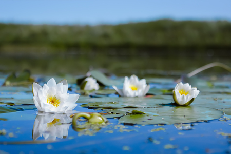 Flowers of White Lily or Lotus with dew drops reflected in the blue water of the pond against the background of the unfocused shore. Selective focus on one of the flowers. Stock Photo