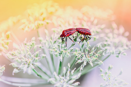 pentatomidae: A pair of red shield bugs making love on white flowers against a light blurred background. Selective focus, toning. Stock Photo
