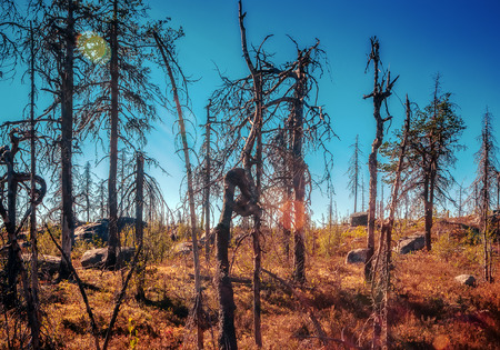 Strange twisted dry trees in the Karelian reserve at summer evening. Stock Photo