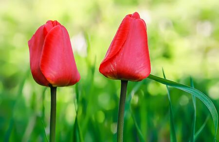 botanics: Two red tulips closeup on the green background. Selective focus. Stock Photo
