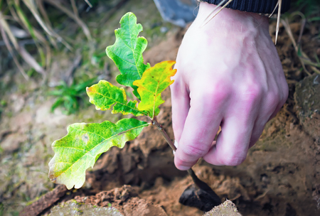 siembra: Planting oak seedling into the ground closeup. Unrecognizable human hand.