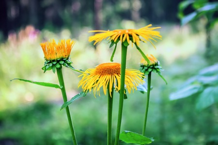 Yellow flowers of medicinal plant elecampane (Inula helenium) or horse-heal in bloom closeup. Selective soft focus. Stock Photo