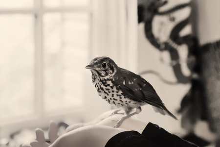 Young Song Thrush sitting on a human hands in a room near the window. Monochrome image, selective focus on the birds head.