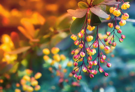 shallow: Yellow with red flowers of blossoming barberry closeup on a blurred background. Selective focus, toned. Stock Photo