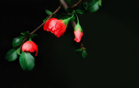 Red buds of Japanese Quince on a black background. Greeting card, space for copy, selective soft focus. Stock Photo