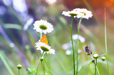 Scarce copper - Lycaena virgaureae - yellow butterfly on a daisy at sunny day. Selective focus on the flower with insect. Stock Photo