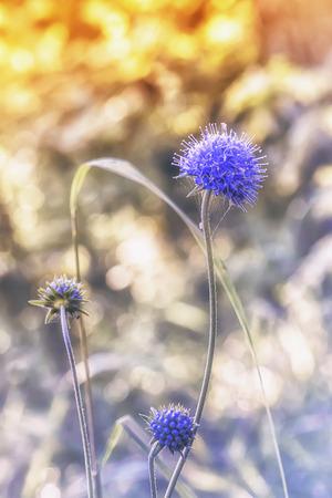 Blue sea holly or eryngo flower -  eryngium planum - closeup in sunlight on the blurred  bokeh background. Selective focus. Stock Photo