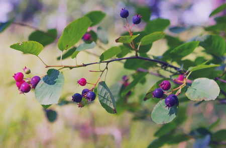 Amelanchier berries - Shadberry - on a branch of the bush closeup at summer day. Selective focus. Stock Photo