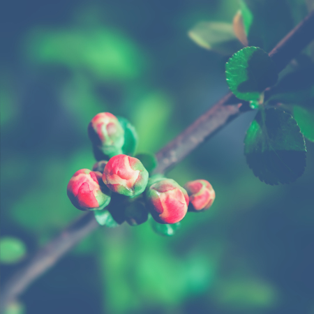 Spring Floral Background with Japanese Quince closeup against dark greenery. Selective soft focus on foreground, space for copy.
