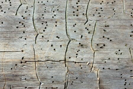 Natural wooden texture background - close-up traces and tracks of bark beetles on the old tree trunk. Selective focus, space for copy.