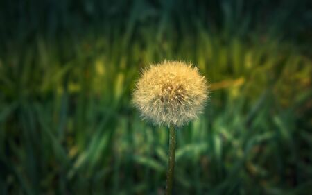 White fluffy dandelion flower head  - Taraxacum officinale - close-up in the morning sunlight against the blurred green grass. Floral background with space for copy, focus on foreground.
