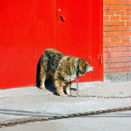 A large shaggy guard dog on a chain leash is standing at the red metal gate in a brick wall. Territory protection concept. Space for copy.