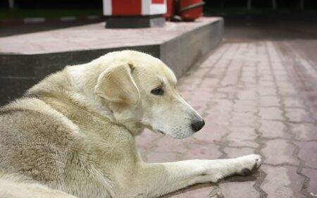 Close-up shot of the lost sad white stray dog lying on a pavement at a gas station at midnight. Concept image. Selective focus.