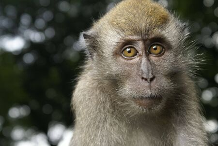 Long tailed macaque portrait photo